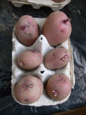 Potatoes [Solanum tuberos] for 2011.