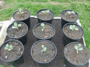 Successional sowing of cabbage.