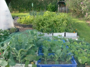 Brassicas holding well despite weather.