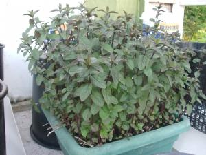 Mint herb [Mentha spicata] 2009.