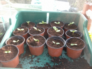 Sunflowers to single pots.[Details in diary]