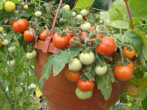 Tomatoes in baskets. [tumbler]