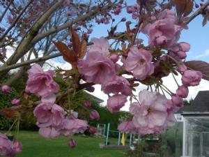 Prunus.[Serrulata Kanzan] in the main garden.