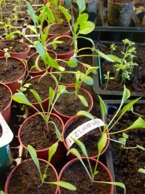 Spinach [Tetragonia]