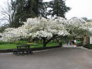 Blarney Castle  Prunus Shirotae