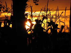 Sunset through the sweetcorn !