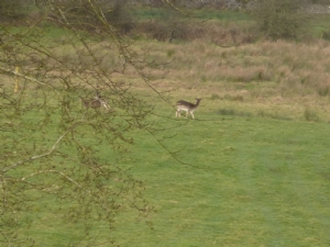 The Deer in the field at the back of the house in Roscommon last week