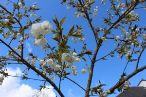 Prunus Sirotae