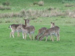 Deer in the field on 30th April