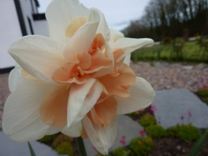 nice new daffodil opened fully