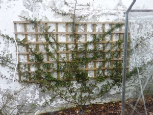 Pyracantha in Roscommon
