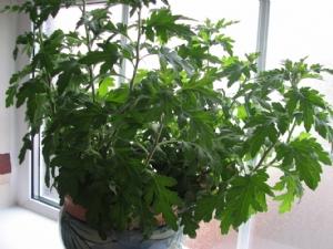 The non flowering Chrysant
