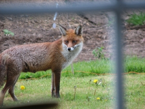 Visitor to our garden this evening