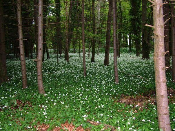 Garryhinch woods