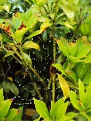 Spiders web on Pieris