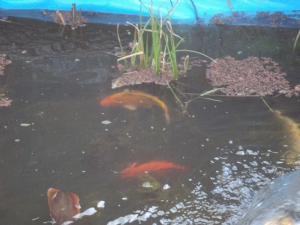 Koi above and goldfish below