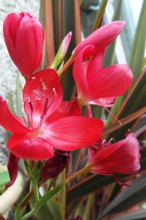 Kaffir Lilies still blooming