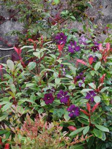 Flowering Photinia
