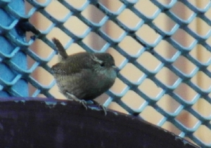 Wren singing - JUST FOR ME!!!