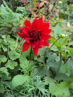 Dahlia from seed