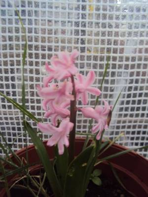 Dad's Hyacinth today