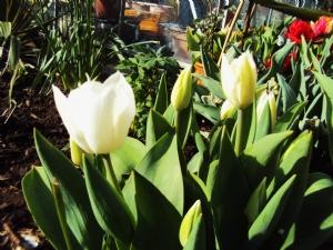 Tulipa 'Triumph White'