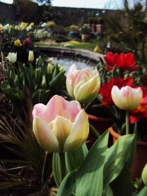 Tulipa 'Upstar'