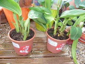 Cannas with yellow flowers (no variety on label)