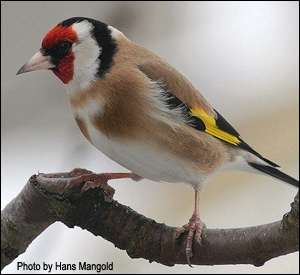 Goldfinches in my Garden.
