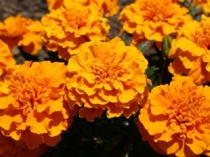 Marigolds! Mmmmmmm!