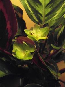 Calathea with 2 flowers
