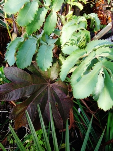 Melianthus and Tetrapanax today