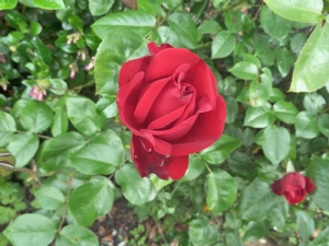 A Beautiful Rose