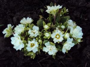 Primula 'Dawn Ansell'