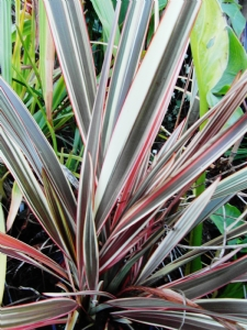 Phormium 'Alison Blackman' in all her glory!