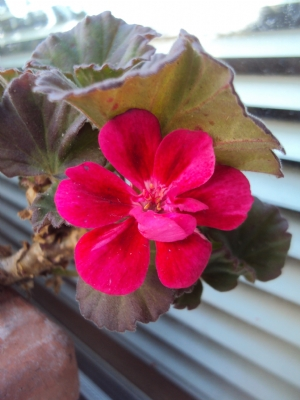 Geraniums in window box out the front