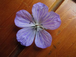 Geranium for Fran