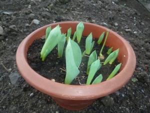 Tulipa 'Celeste' appearing