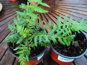 Baby tree fern (thanks, Martin)