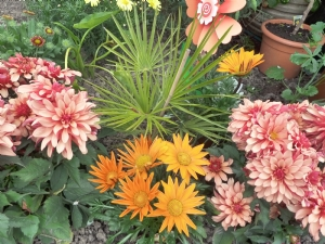 Gazanias and Dahlias