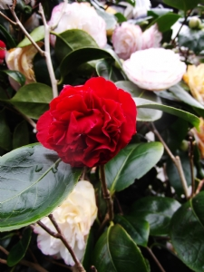 Camellia 'Double Red'
