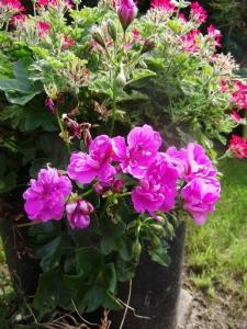 Kate's trailing geranium today