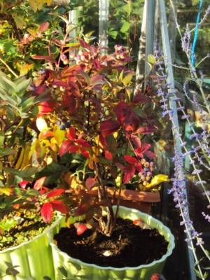 Autumn foliage on blueberry