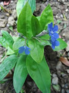Omphalodes cappadocca 'Starry Eyes'