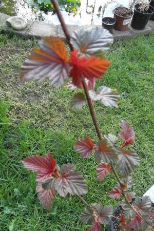 Physocarpus 'Lady in Red'