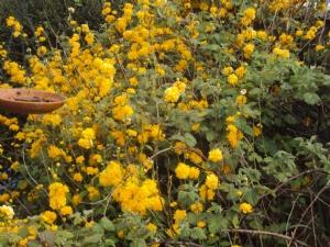 Kerria japonica in Dads