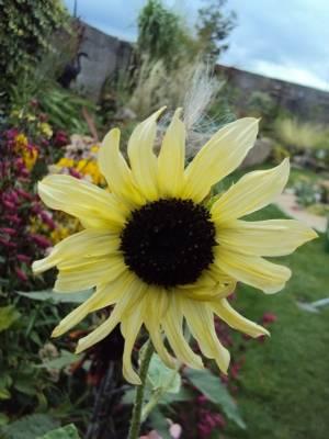 Sunflower 'Italian White'