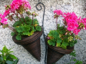 geraniums in wall planter