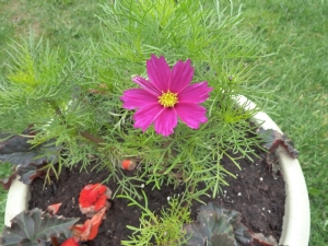 First Cosmos Flower