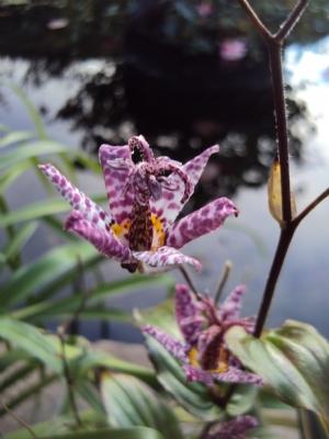 Tricyrtus formosana